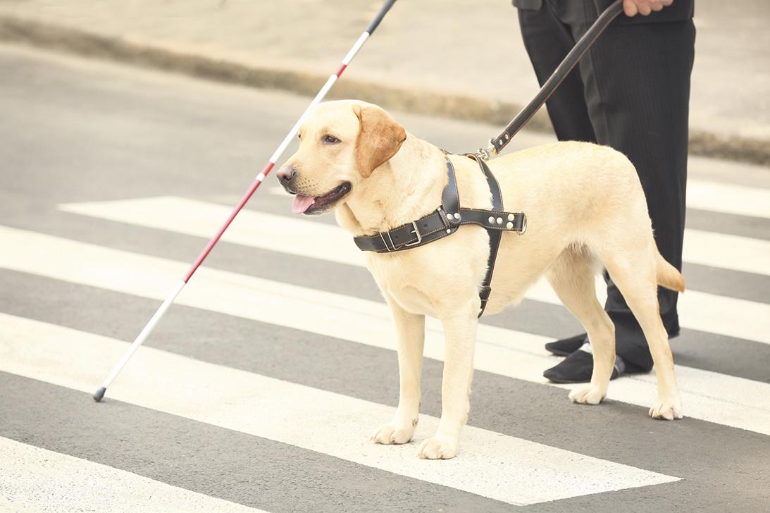Ein Blindenhund mit Herrchen auf der Straße. Thema: Sprechende Geräte